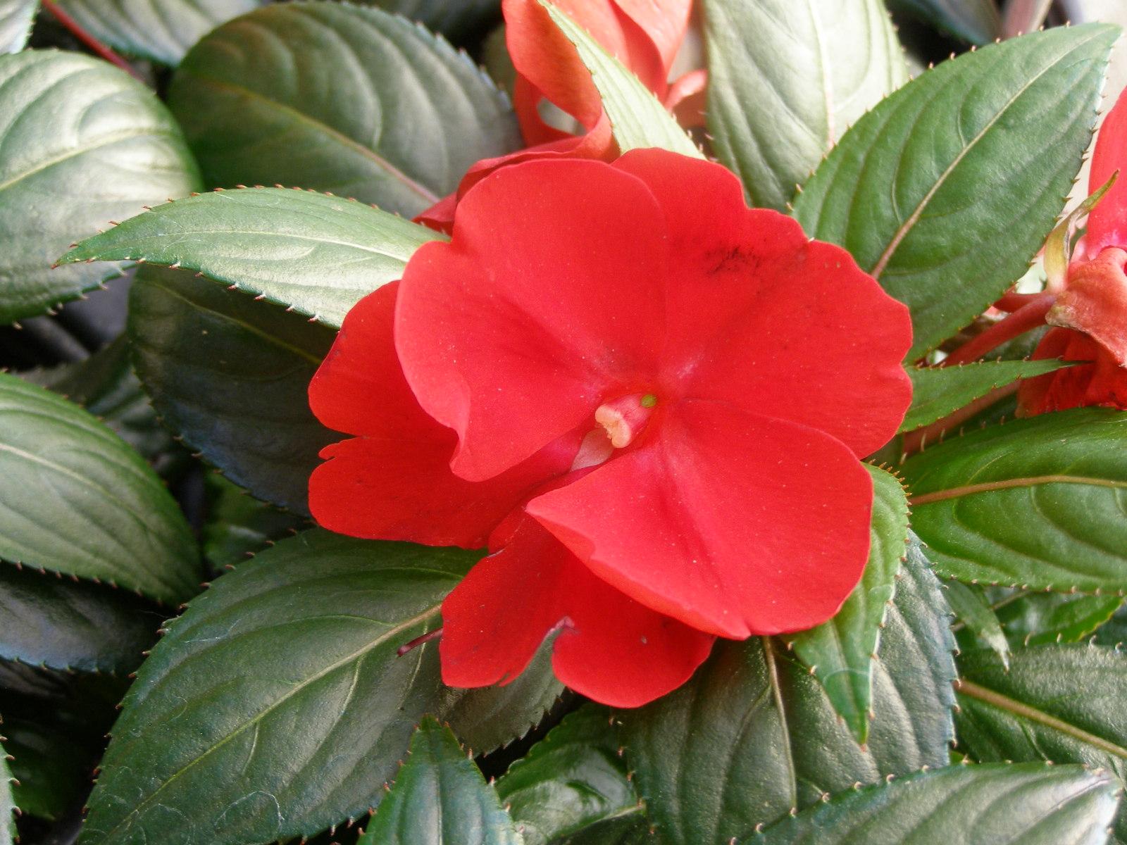 Бальзамин уход в домашних условиях, размножение, цветение 85